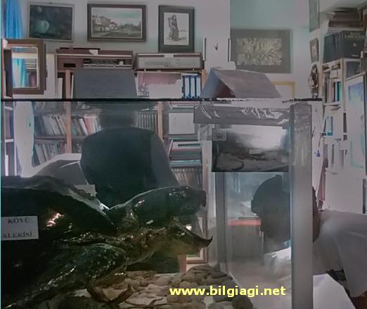 tahtakus-kaplumbaga